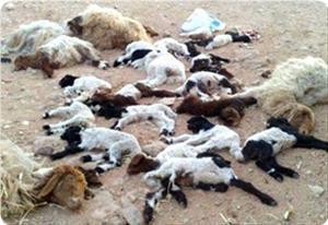 Palestinian sheep poisoned